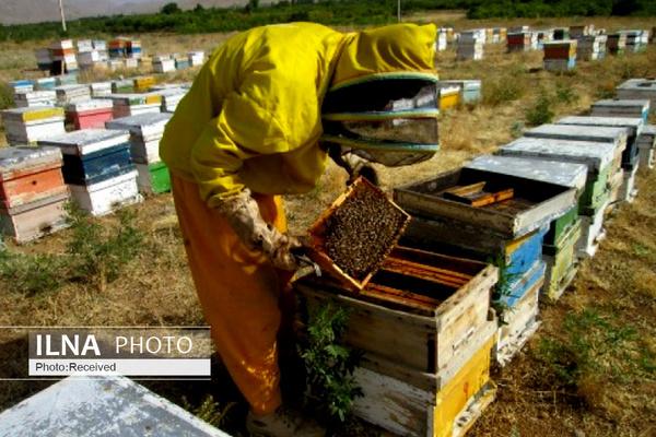 تلف شدن ۴۰ درصد از جمعیت زنبور عسل کشور به دلیل ناشناخته