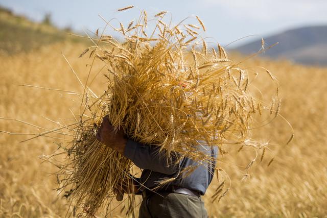 دولت فرصت واردات گندم را از دست ندهد