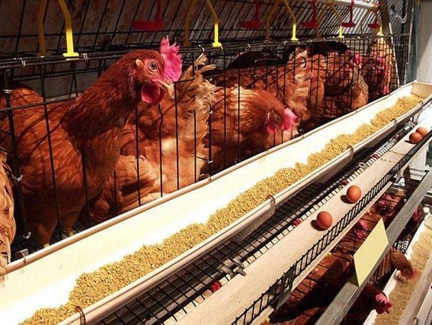 آمار جوجهریزی با میزان تولید همخوانی ندارد/ آینده بازار مرغ در ابهام