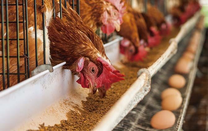چالش تامين خوراك مرغداري ها كشور چيست؟