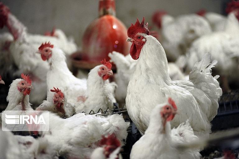 کاهش ۵۰۰ هزار تنی واردات ذرت و سویا با تولید مرغ سایز