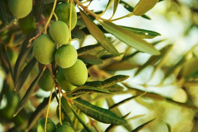 کاهش ۲۵ درصدی تولید زیتون به دلیل خشکسالی